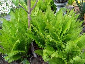 Папоротник садовый: посадка и уход за растением на вашей даче