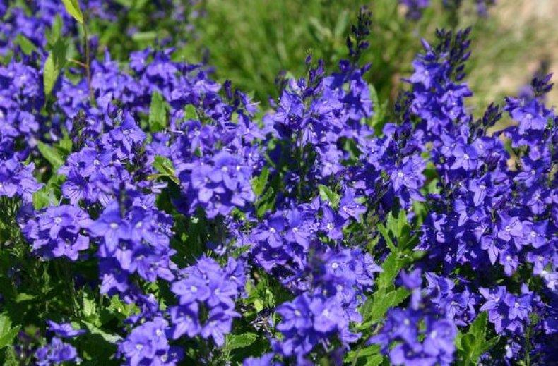цветок, вероника, знакомить, Происхождение Европа, цветет июнь, данного вида