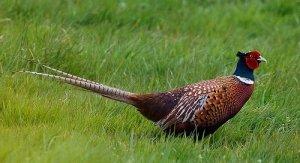 фазан, белого цвета, Румынский фазан, течении сезона, Алмазный фазан, достигать весе