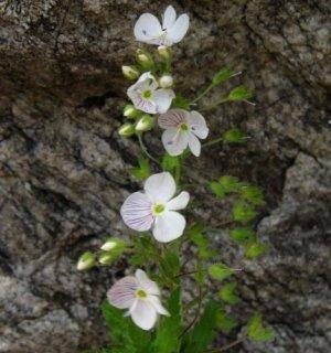 Вероника растение