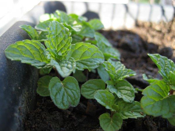 Мята – выращивание из семян в домашних условиях — Дачники Лайф