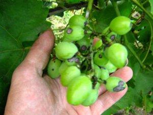 Виноград болезни и лечение