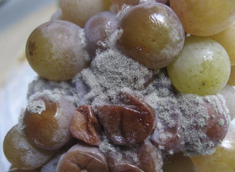 опасный, болезнь, виноград, профилактика, признак