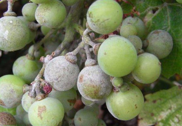 Виноград как получить хороший урожай