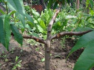 учить, персиковый, дерево, обрезки персика