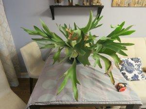 Цветок оленьи рога фото