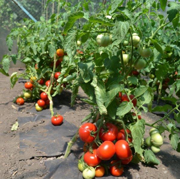 помидоры катя описание сорта