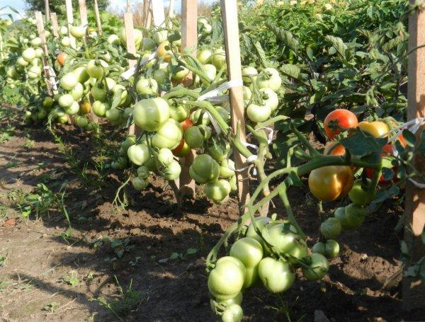 "Томат ""Катя"": характеристика и описание сорта помидор"