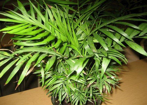 Хамедорея изящная (элеганс): уход в домашних условиях, размножение, пересадка
