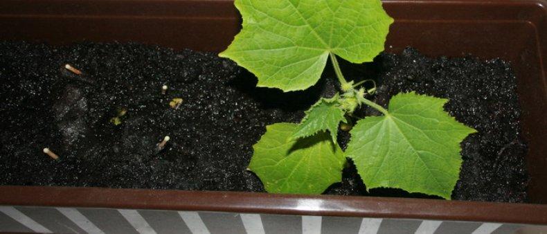 успешный, выращивание, огурец, зима