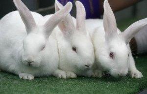 Кролики породы «Белый великан» больших размеров