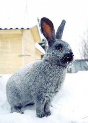 Шерсть кроликов красивого серебристого цвета