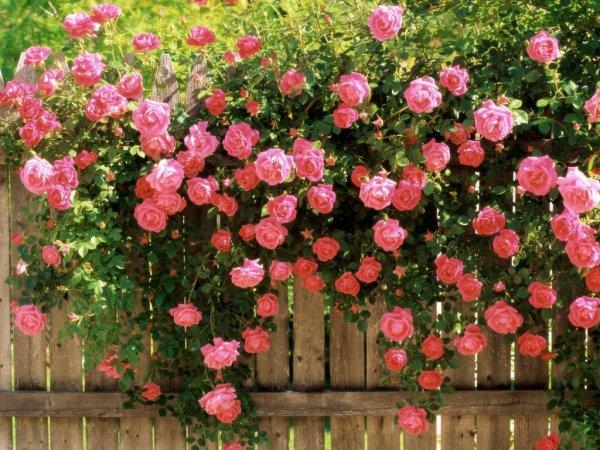 надо ли обрезать почвопокровные розы