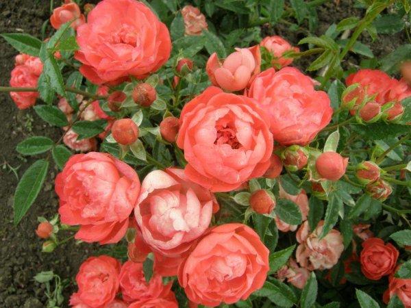 Почвопокровные розы сорта выращивание и применение