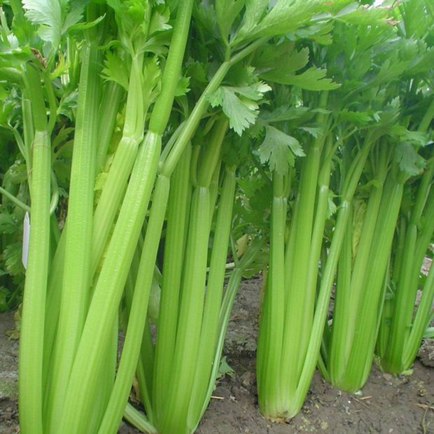 Сельдерей фото растения