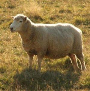 Овцы в период беременности