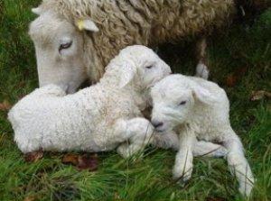 Беременную овцу нужно подкармливать