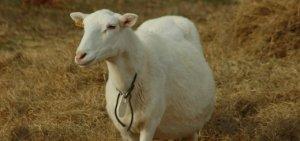 Перед родами овца будет очень беспокойной