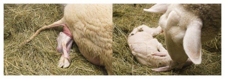 Нужно немого помочь животному во время рождения ягнят