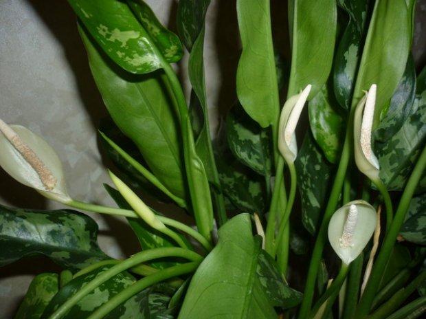 Аглаонема уход в домашних условиях как цветет