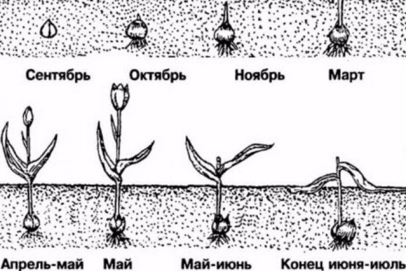 Схема жизненного цикла тюльпана