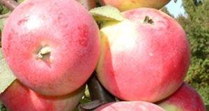 Размеры плодов сорта «Сувенир Алтая» достаточно большие как для Сибири