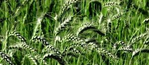 удобрять, озимый, пшеница, озимую пшеницу, озимой пшеницы, внесение подкормок