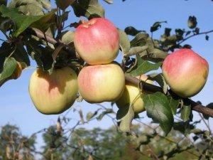 Плоды сорта «Ермаковское Горное» очень вкусные