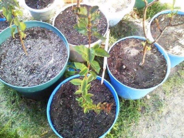 как посадить косточку сливы чтобы выросло дерево
