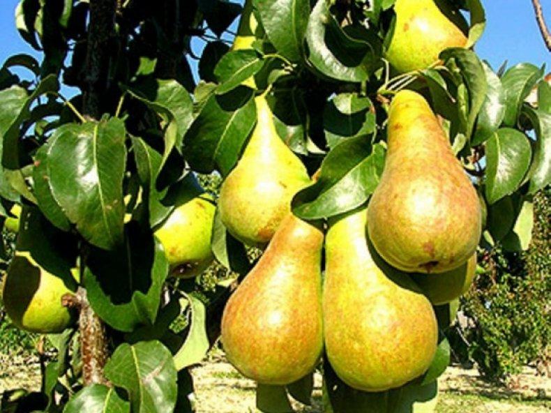 Груша «Бере Арданпон» обладает сладким вкусом с кислинкой