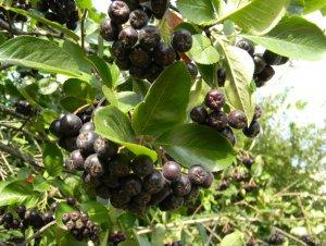 Арония черноплодная посадка и уход