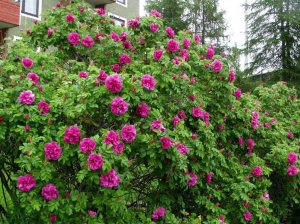 Шиповник и роза ругоза это одно и тоже