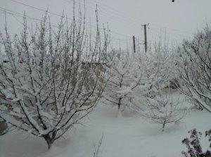 Кизил зимой