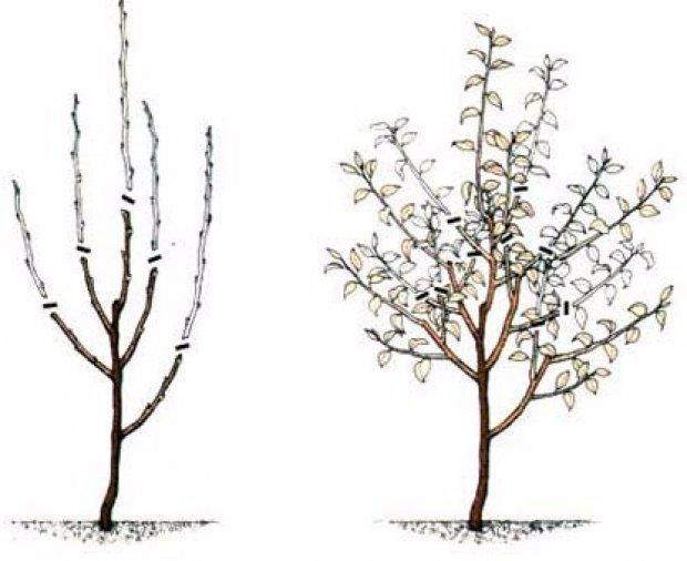 Обрезка взрослой яблони с лестницы.