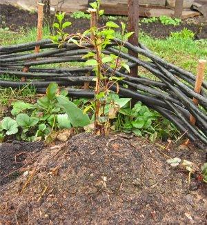 Выращивание лианы