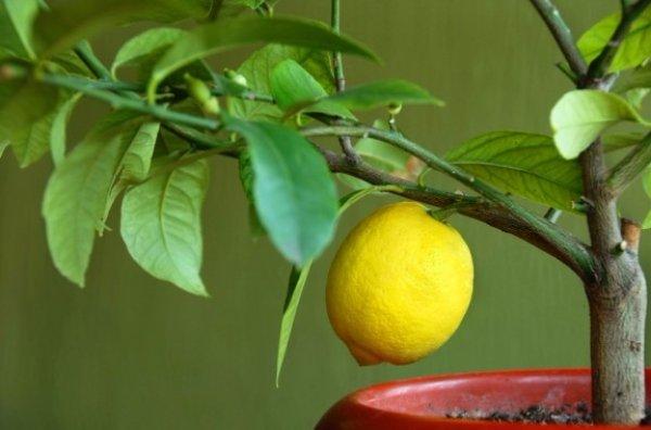 Лучший сорт комнатного лимона