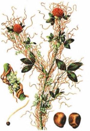 Как применяют повилику в народной медицине: лечебные свойства и противопоказания