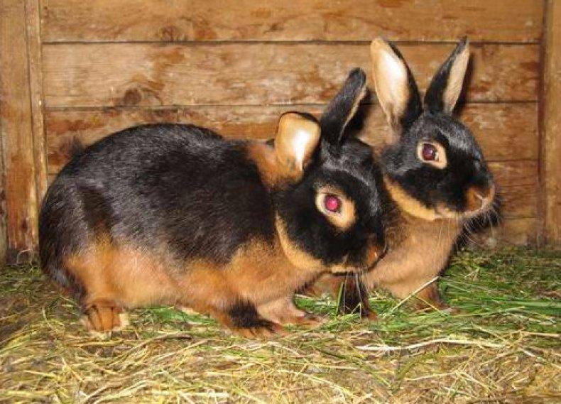 Кролики черно-бурой породы