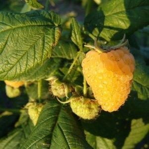Сорт малины Ярославна