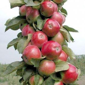 Клоновидные яблони для подмосковья