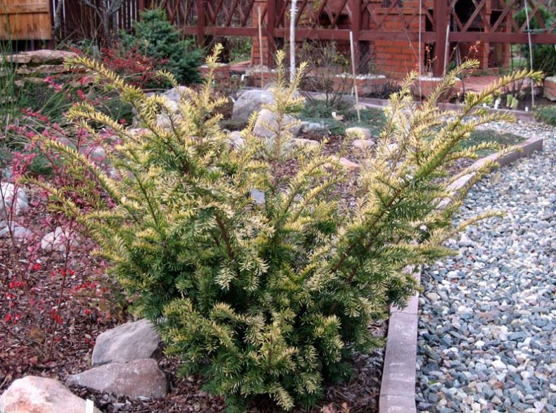 вечнозеленый, растение, дача, карликовый сорт, дизайне ландшафта