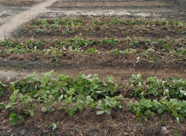 Чем удобрять клубнику осенью при посадке: подкормка на зиму, какие удобрения следует вносить