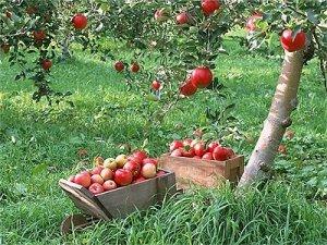 Яблуневый сад, свой личный сад в подмосковье