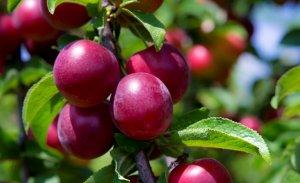 Польза и вред сливы, лечебные свойства и противопоказания к употреблению