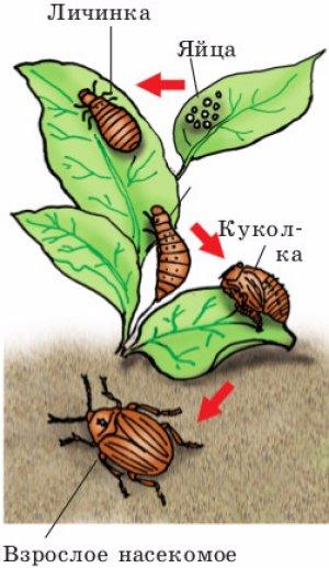 Почему жук колорадский