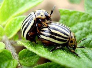 Размножение колорадского жука