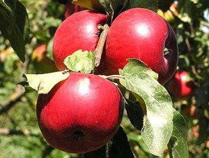 плоды клоновидных яблонь в подмосковье