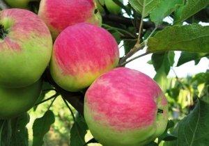 Яблоня мантет описание фото отзывы