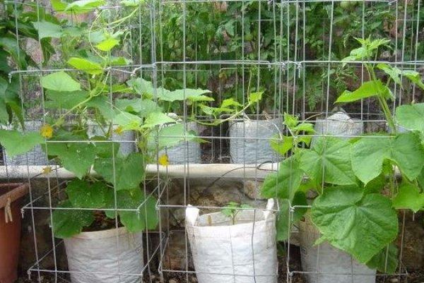 выращивание огурцов в мешках фото уверяет, что