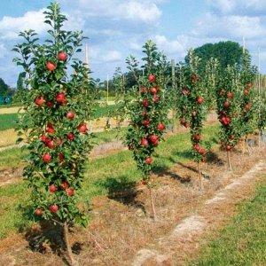 правильная посадка клоновидных яблонь